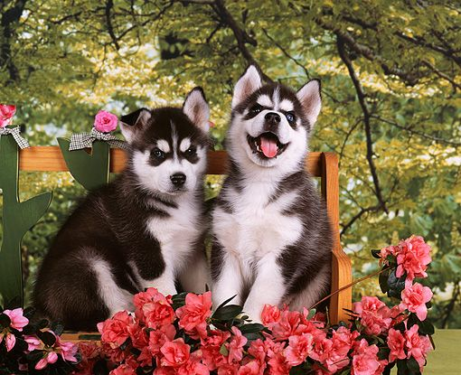 Pup Kimball Stock Two Siberian Husky Puppies Sitting On Planter By Flowers Trees Background