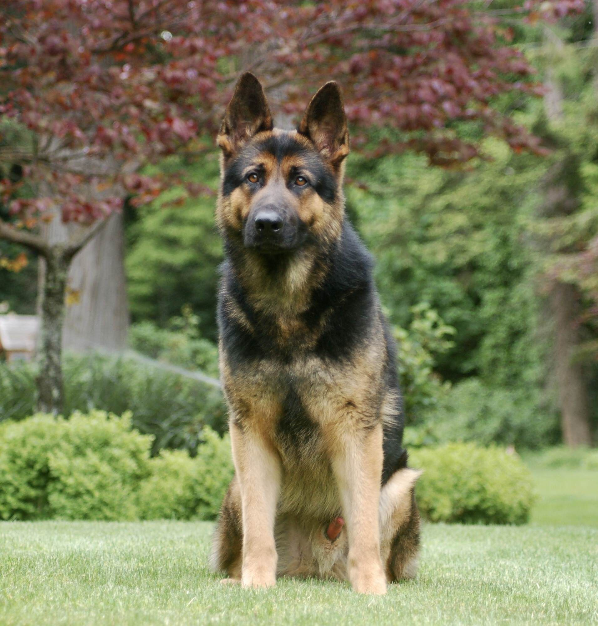 German Shepherd Protection Dogs For Sale In 2020 Guard Dogs German Shepherd Dogs