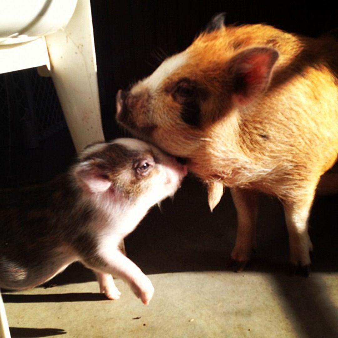 Charming Mini Pigs Micro Mini Teacup Pigs Sale