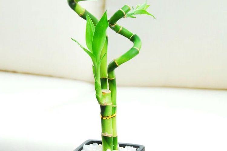 Bambou En Pot Et Lucky Bambou Entretien Et Symbolique Bambou En