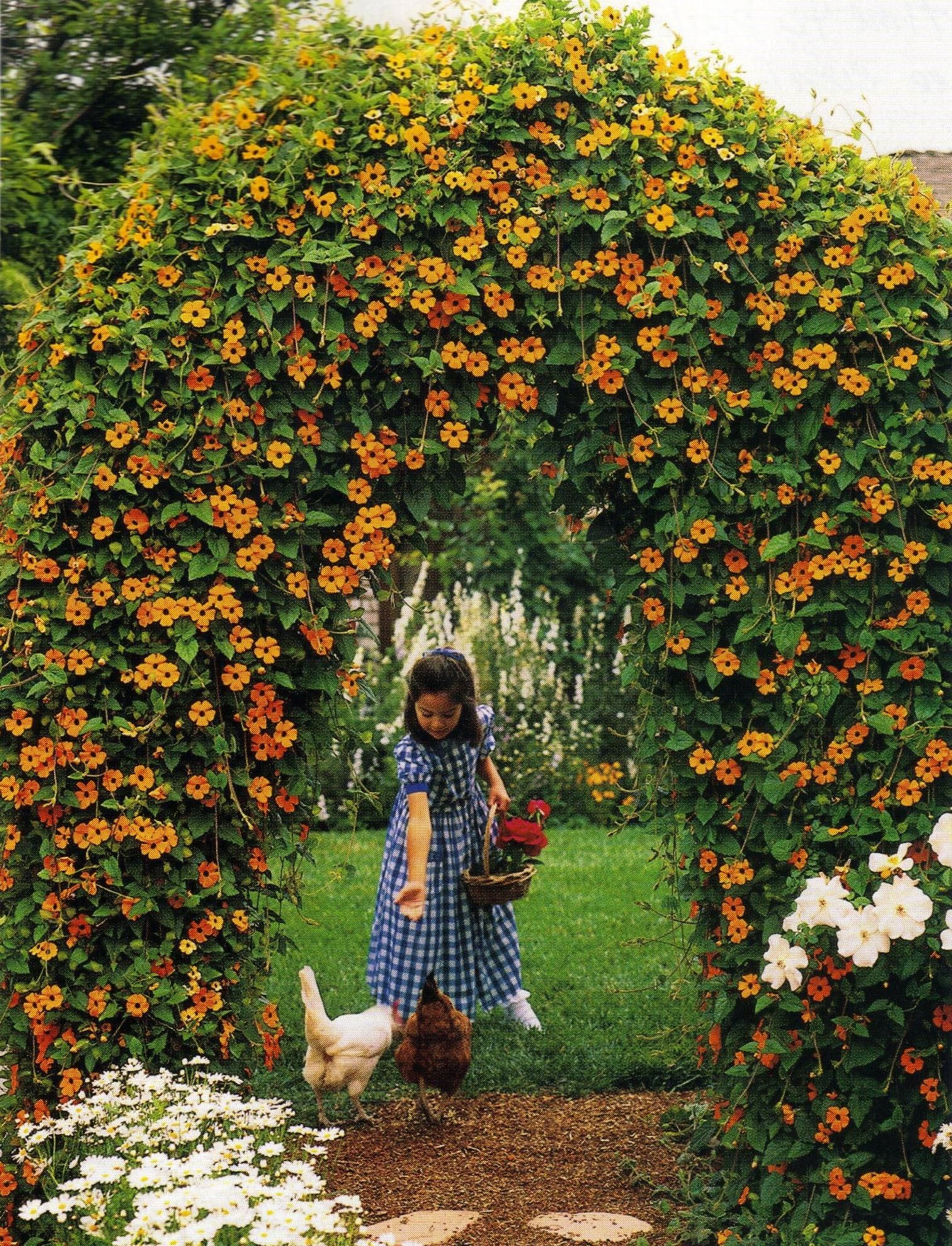 Blackeyed Susan Vine Archway Awesome Black Eyed