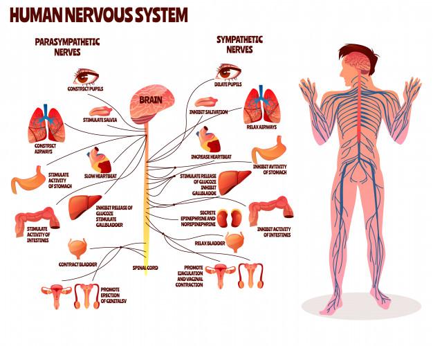 Descarga Gratis Ilustracion Del Sistema Nervioso Humano Diseno De