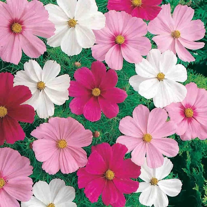 Cosmos Dwarf Cutesy Mixed Colors Seed Easiest Flowers To Grow White Flower Pot Container Flowers