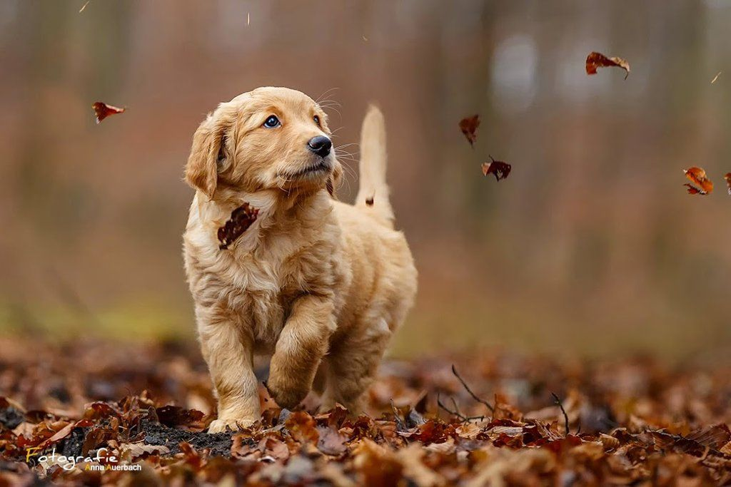 Autumn Golden Retriever Puppy By Anna Auerbach Facebook Update There Was Golden Retriever Lucky Dogs Dogs