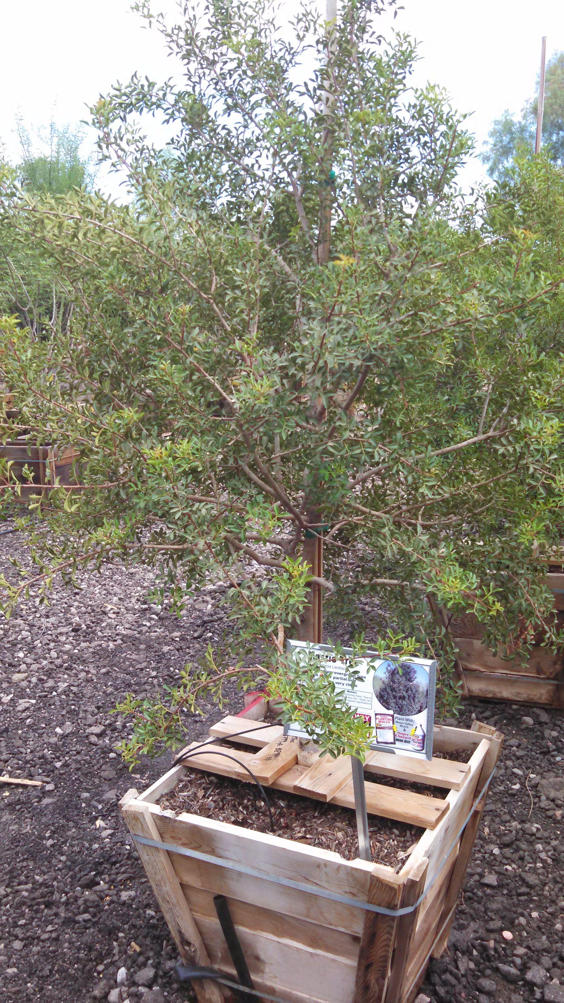 Mastic Tree Plants, Garden