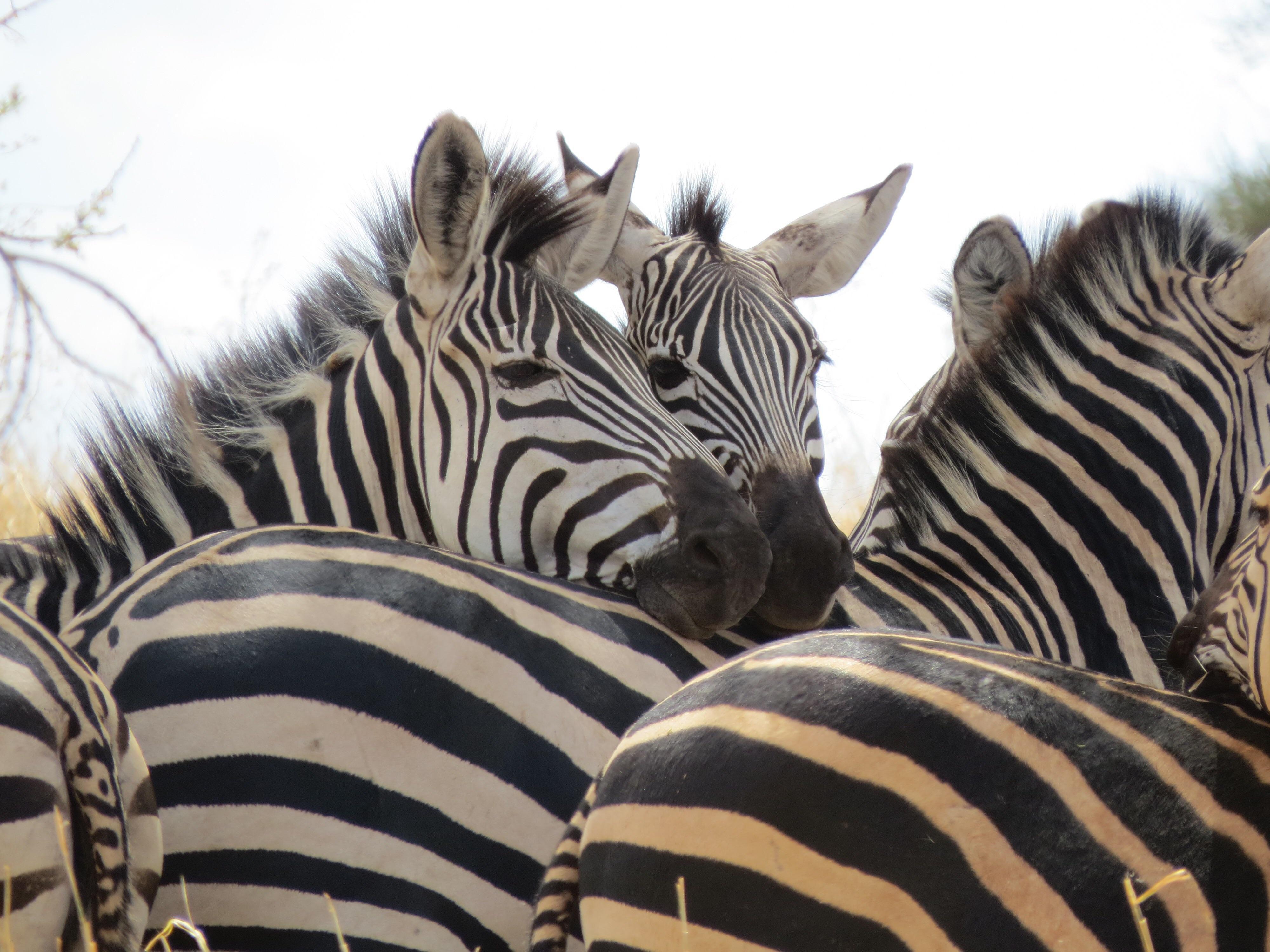 Zebras, Tarangire National Park, Tanzania