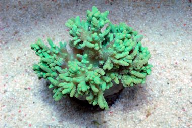 Green Finger Leather Coral Green Reef Tank Coral