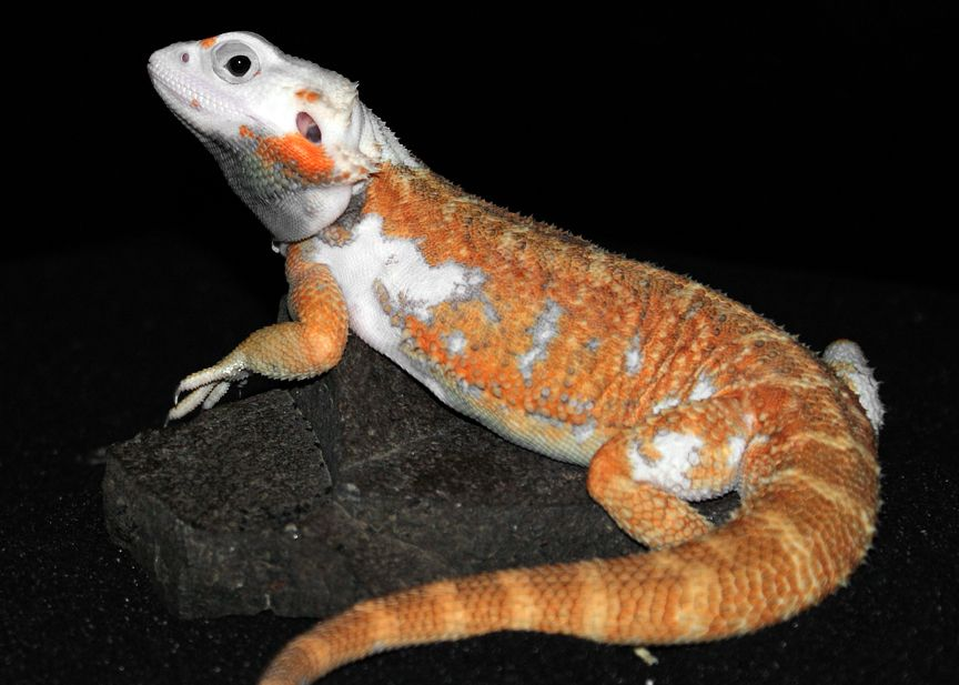 20 different types of bearded dragons with colors