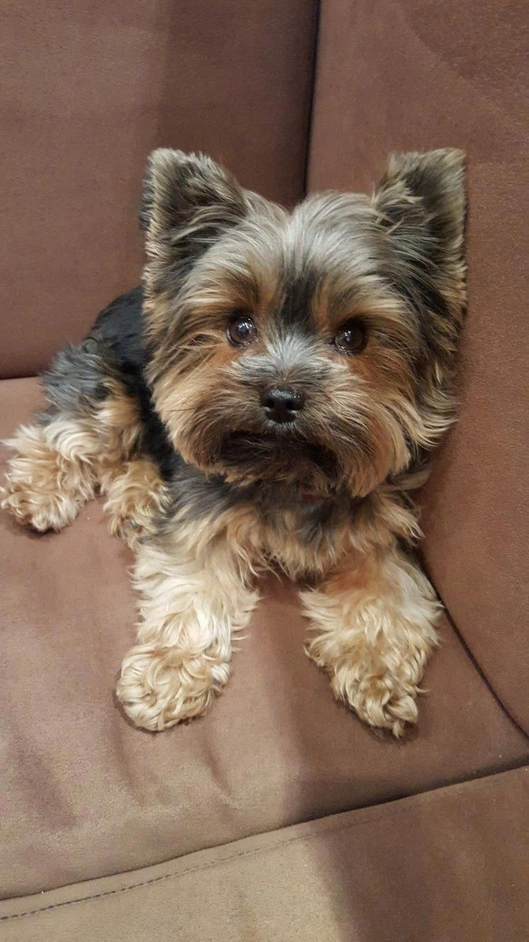 Yorkshire Terriers Are A Small Breed Of Toy Pets Weighing A Weak 7 Pounds As Adults Their Size Is Due In 2020 Yorkshire Terrier Puppies Terrier Puppies Yorkie Puppy