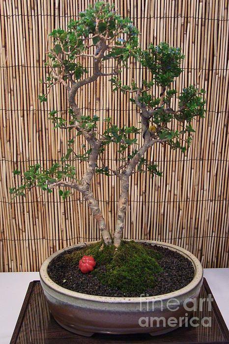 Bonsai Dwarf Tree Surinam Cherry By Mary Deal Indoor Bonsai Tree Dwarf Trees Bonsai