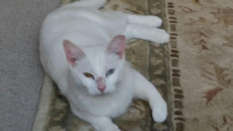 Snowflake is an adoptable Domestic Short Hair-white searching for a forever family near Hudson, MA. Use Petfinder to find adoptable pets in your area.