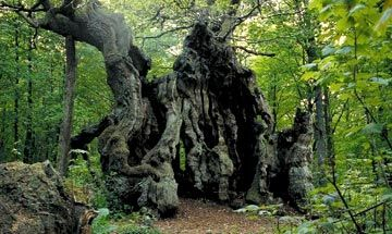 Kongeegen -The King Oak- is an oak treethat grows in Jægerspris Nordskov, on the island of Sjælland. It has an estimated age of 1500–2000 years, and may well be the oldest living oak in northern Europe