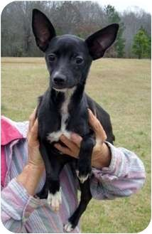 mini greyhound chihuahua mix - Google Search////She is