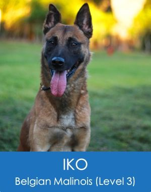 Iko Belgian Malinois Home Protection Dog Belgian Malinois