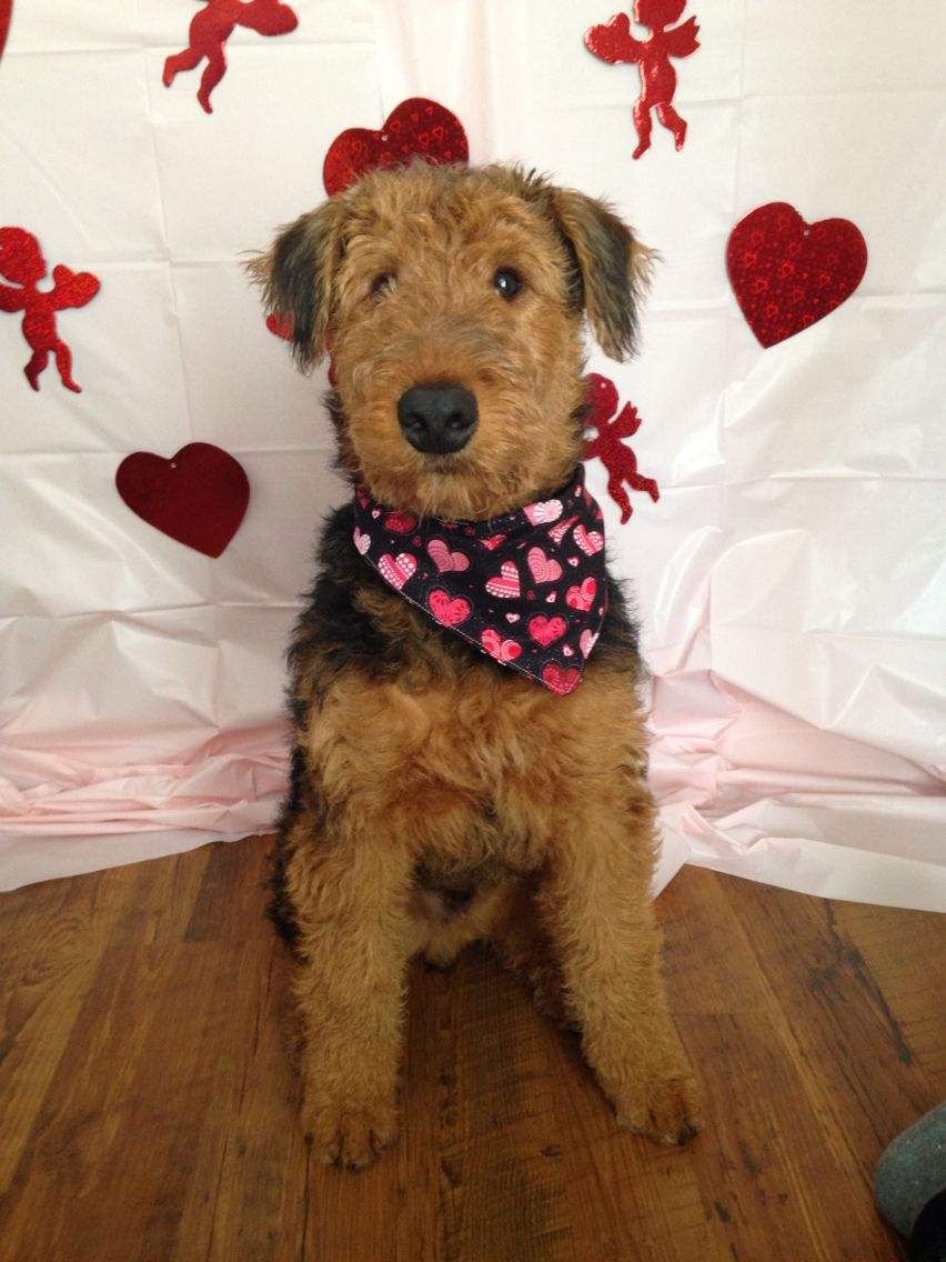His First Valentine S Day Airedale Dogs Fox Terrier Airedale Terrier