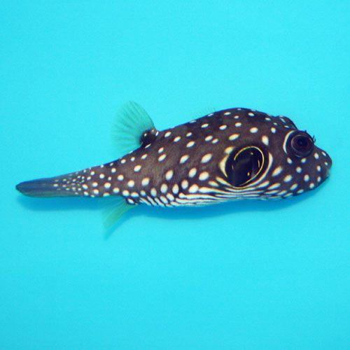 Stars And Stripes Puffer Arothron Hispidus Small Medium Saltwater Aquarium Puffer Fish Fish