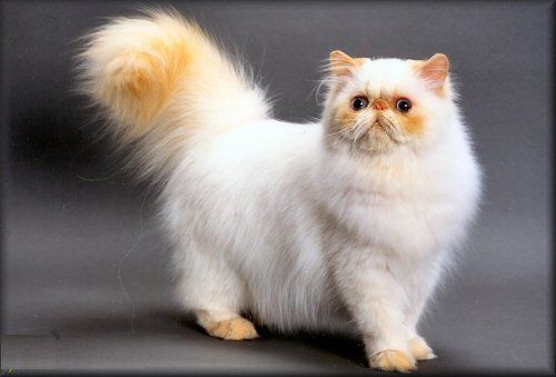 Himalayans were developed by breeding Persians to Siamese to combine the Siamese point coloring with Persian type. Description from persian-cats-breed.blogspot.com. I searched for this on bing.com/images