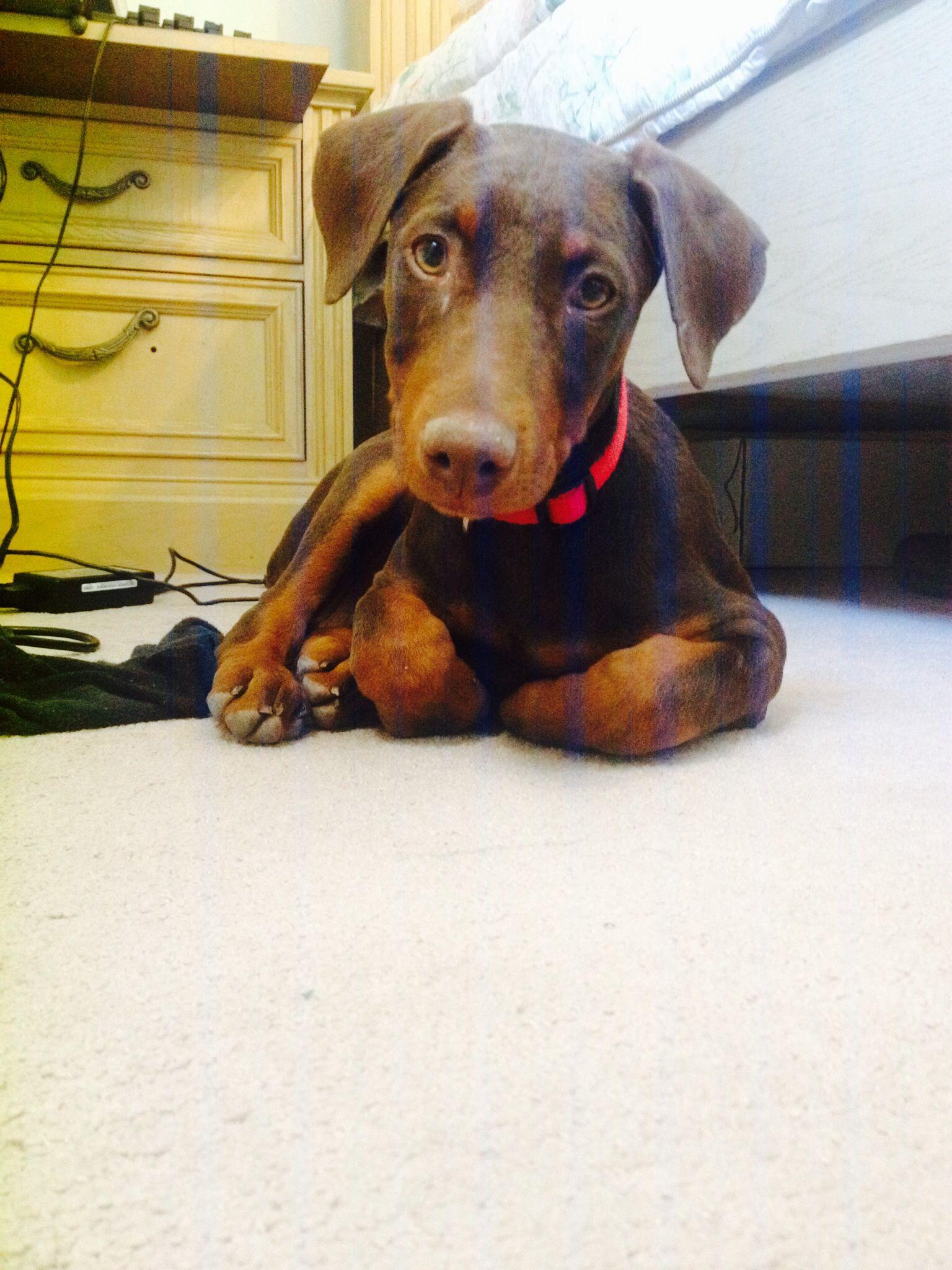 Daisy-  2 months Red Doberman Pinscher