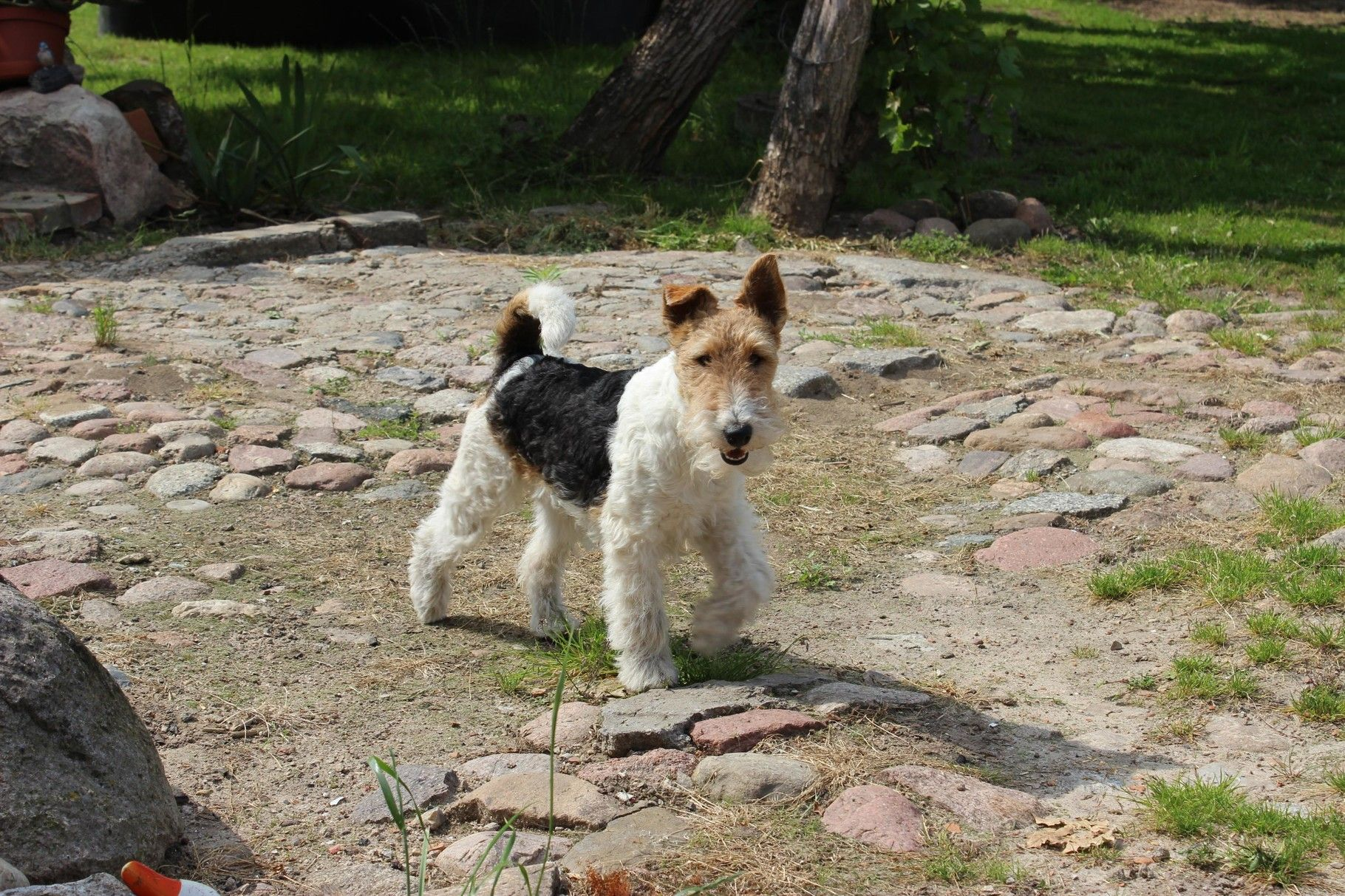 Pin by Heinz Koptmann on Drahthaar Foxterrier aus MOL | Pinterest ...