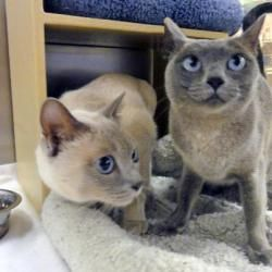 Adopt Maggie And Lex On Petfinder Tonkinese Cat Cat Adoption Cats And Kittens