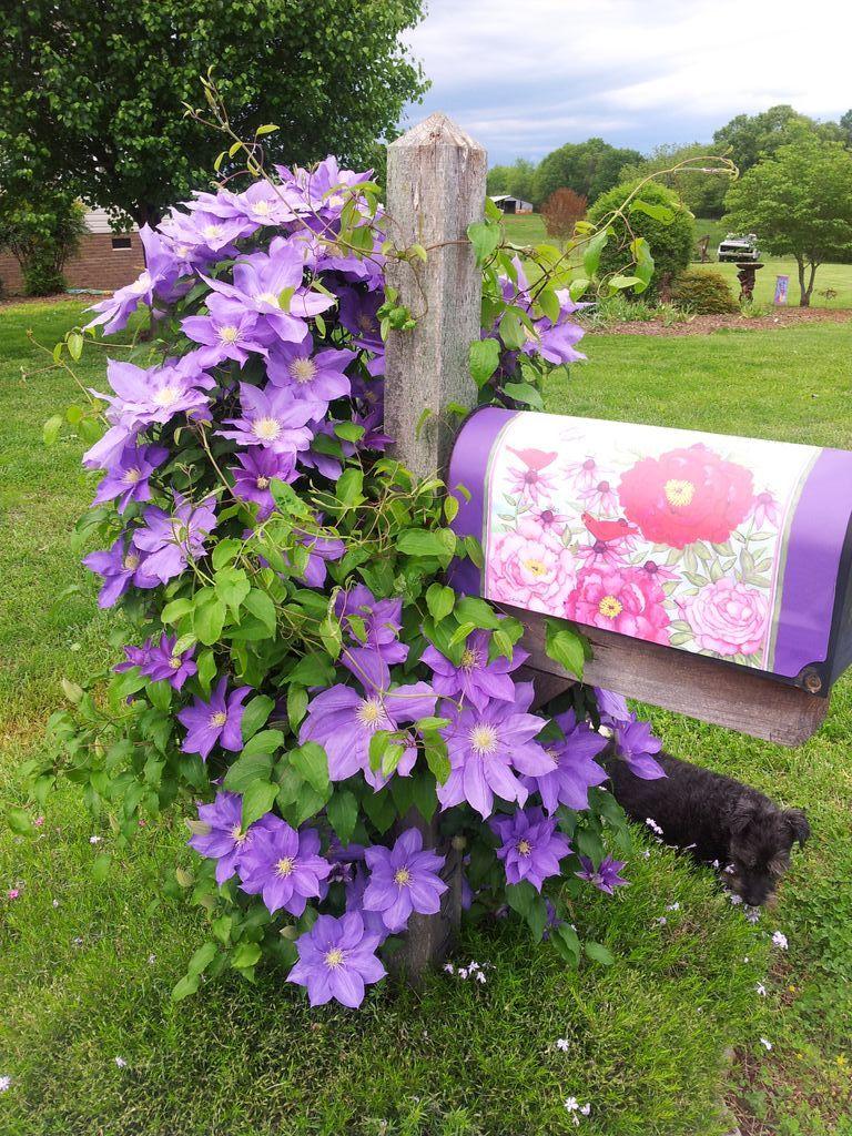purple clematis vine on mailbox lincolnton nc