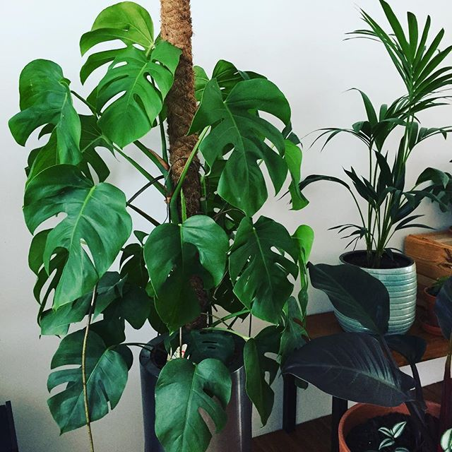my monster a did you know the monstera can grow up to 20 meters in height and prefers a light. Black Bedroom Furniture Sets. Home Design Ideas