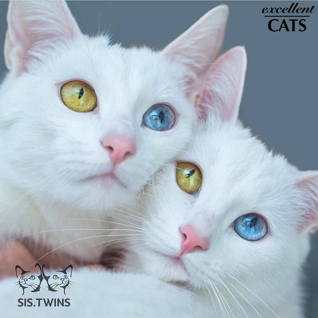 2 362 Likes 19 Comments Tag Excellent Cats Excellent Cats On Instagram Photographer Sis Twins Selected B Angora Cats Gorgeous Cats Pretty Cats
