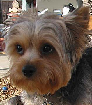 Silky Terrier Haircuts Oodle Marketplace On Cross Between The