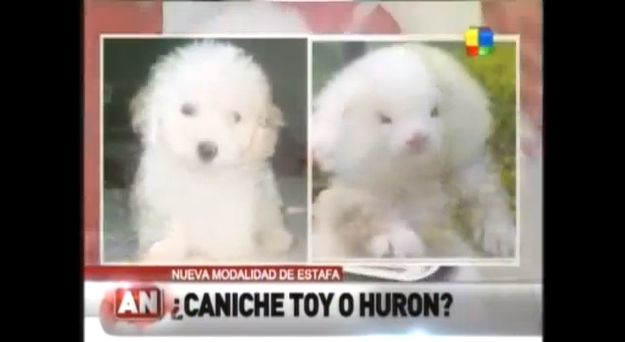 A Man Paid 150 For Toy Poodles That Ended Up Actually Being Huge