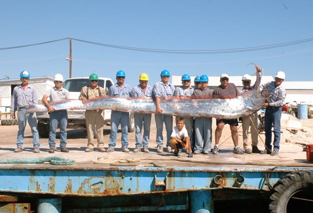 Largest Oarfish Ever | Big Fishes of the World: OARFISH ... Oarfish 56 Ft