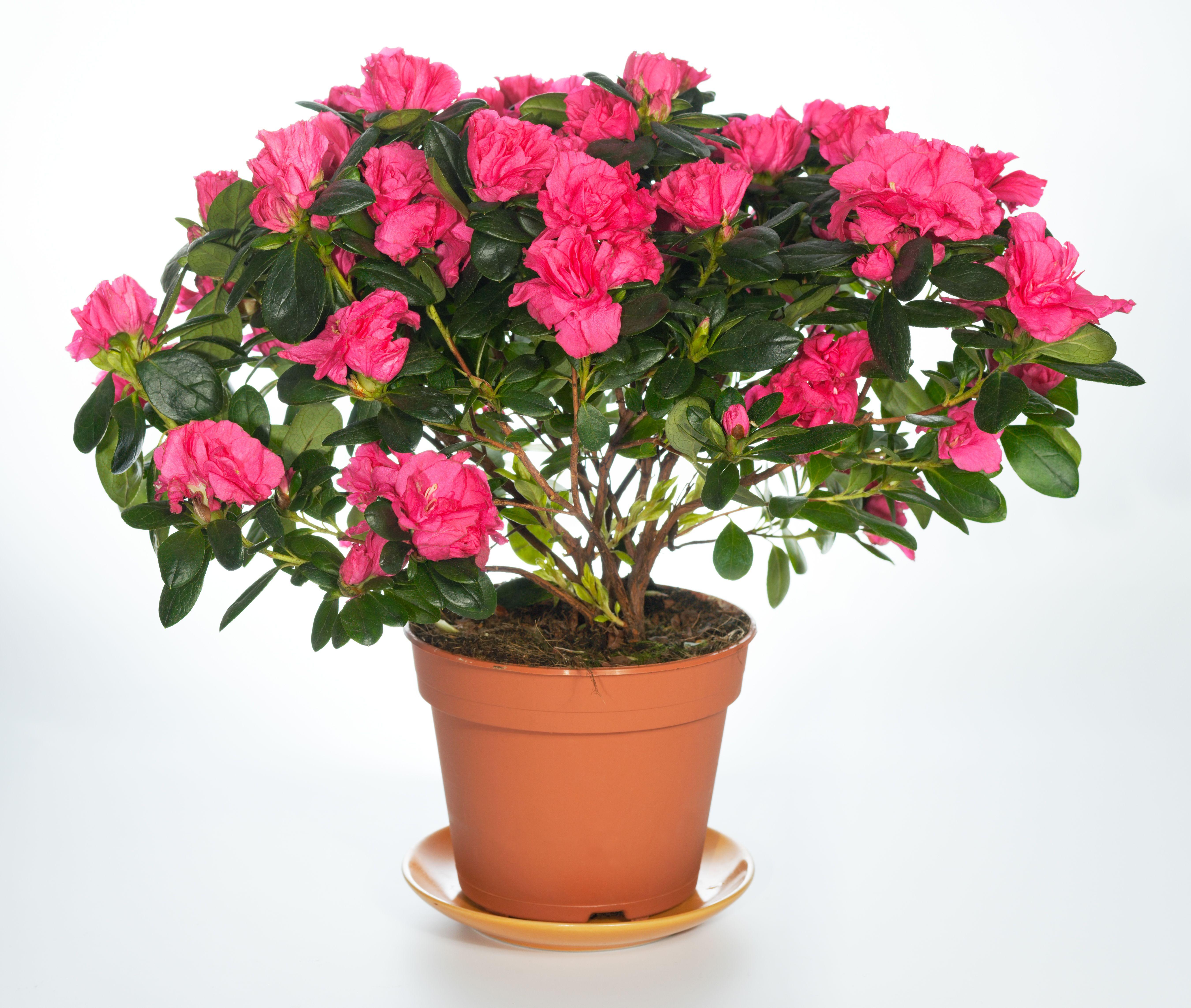Flori Azalee Ingrijire Inmultire Azalee De Gradina Sau Ghiveci Azaleas Care Where To Buy Flowers Plants
