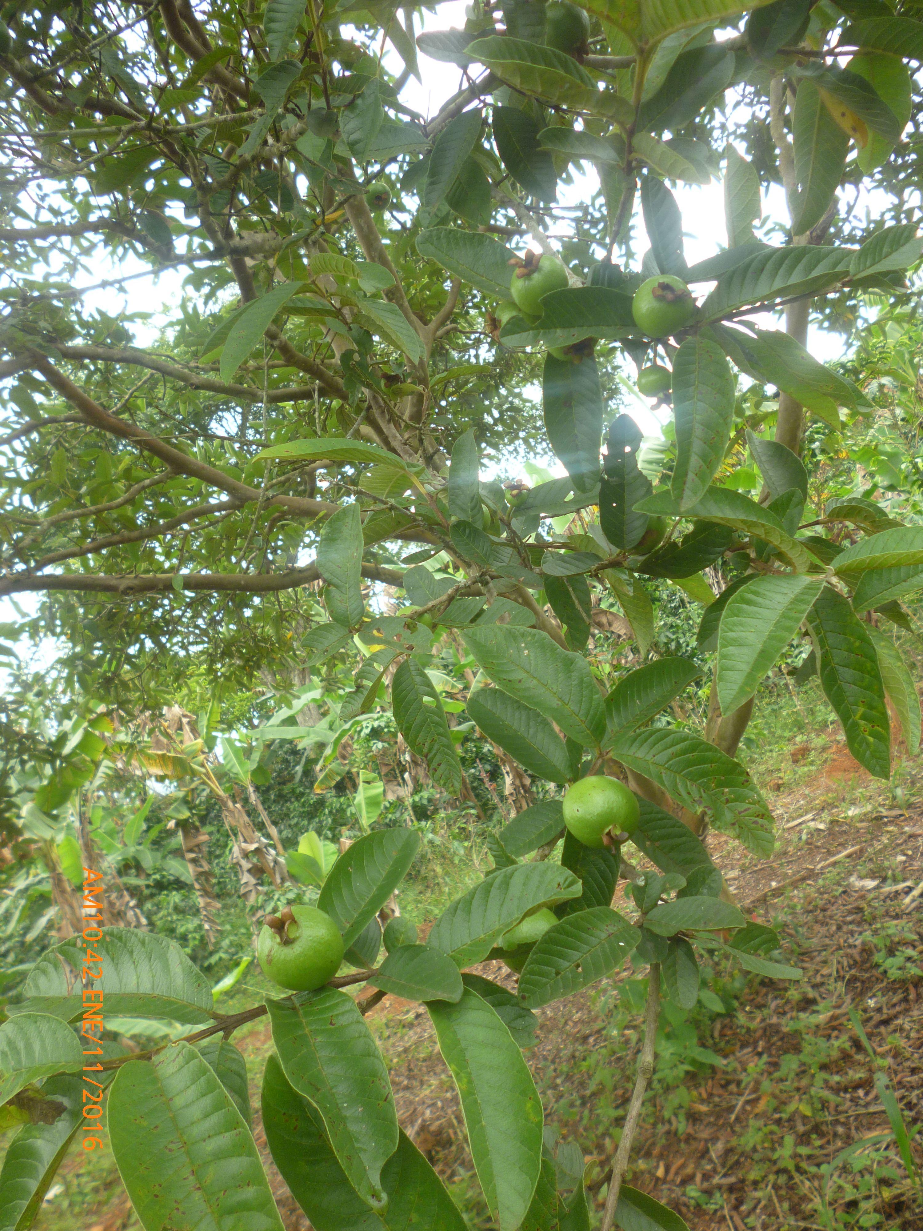 arbol e guayaba frutos finca santa marta pinterest