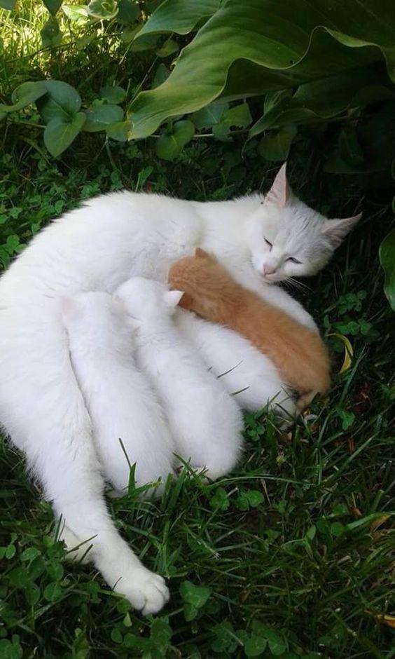White Cat Kittens Plus A Ginger Kitten Https Www Dogstreettees Com Cute Animals Animals Mama Cat