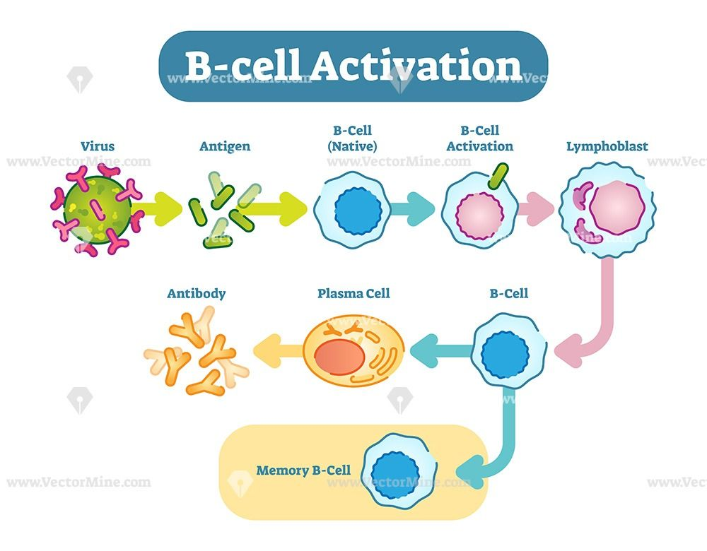 B Cell Activation Vector Diagram Adaptive Immune System B Cell