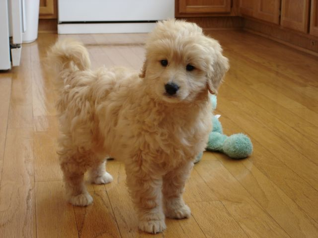 Photo Gallery Tiny Toy Goldendoodle Micro Mini Goldendoodle