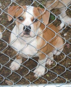 Litter Of 6 American Bulldog Puppies For Sale In Opelika Al Adn