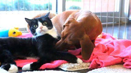 La increíble historia de amistad entre un perro y una gata con parálisis Muy Tierno!!!