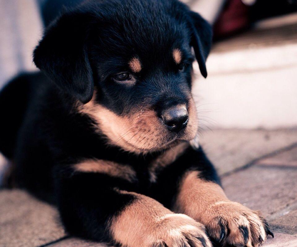 Chiot Rottweiler  Trop beau