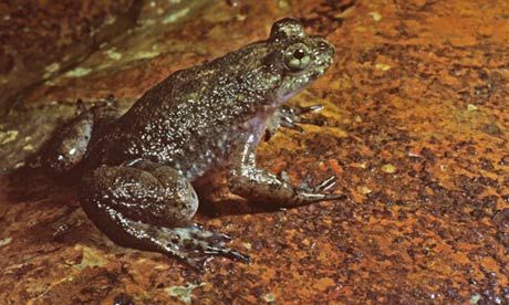 Scientists clone extinct frog – Jurassic Park here we come?  Australian Lazarus Project recreates cells of gastric brooding frog – and the Tasmanian tiger, woolly mammoth and dodo could be next.