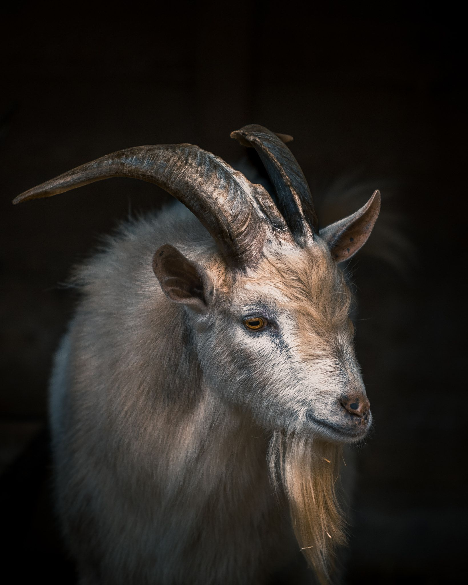картинка морда козла возрасте двадцати одного