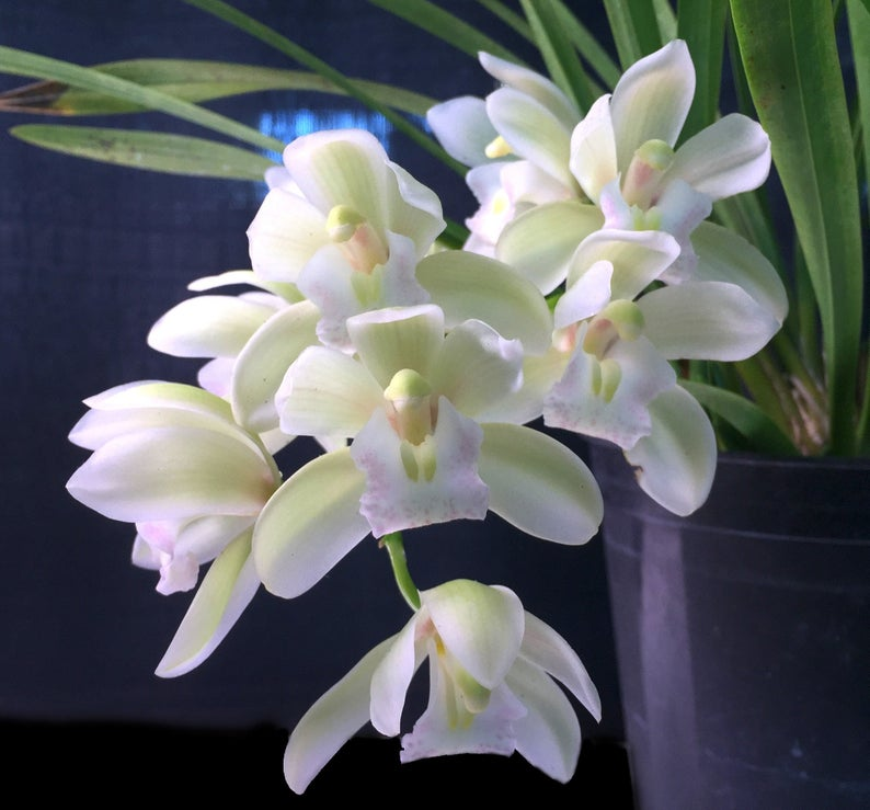 Orchid Insanity Sarah Jean Ice Cascade White Orchids Orchid Bark Flower Spike