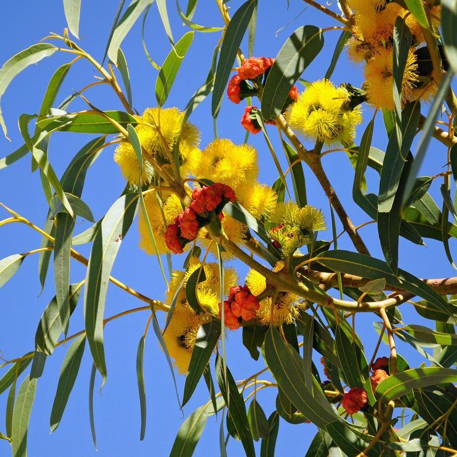 EUCALYPTUS erythrocorys Illyarrie Tree Australian