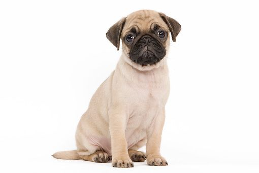 Pup 23 Je0007 01 C Kimball Stock Pug Puppy Sitting On White