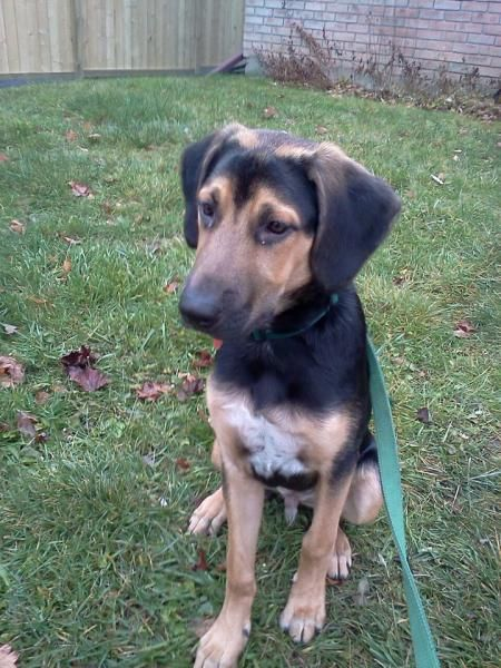 Black And Tan Coonhound Photo Black And Tan Coonhound Mixed With
