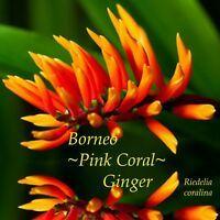 ~TAHITIAN GINGER~ Alpinia purpurata DBLE RED OSTRICH PLUME Sm Potd Starter Plant | eBay