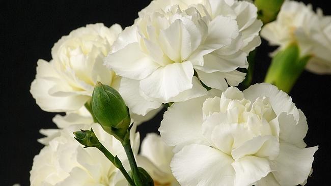 Pin On Flower Carnation