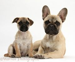 Jug Puppy Pug X Jack Russell And French Bulldog Puppy Dog