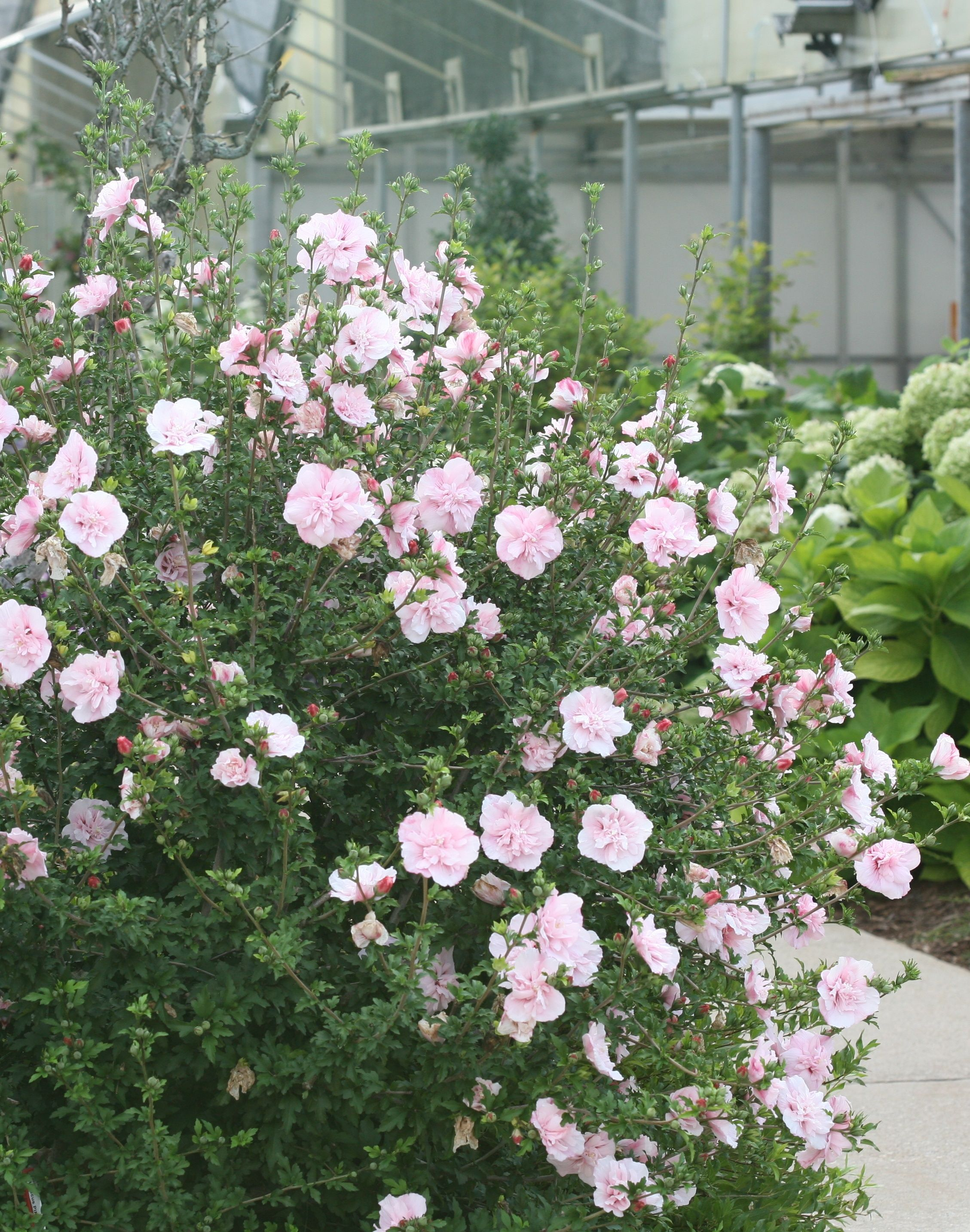 Pink Chiffon Rose Of Sharon Hibiscus Syriacus Heavenly