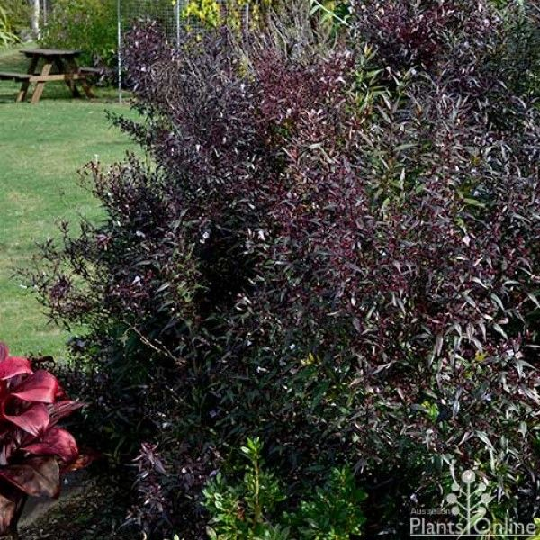 Small Trees For Borders: Strobilanthes - Goldfussia