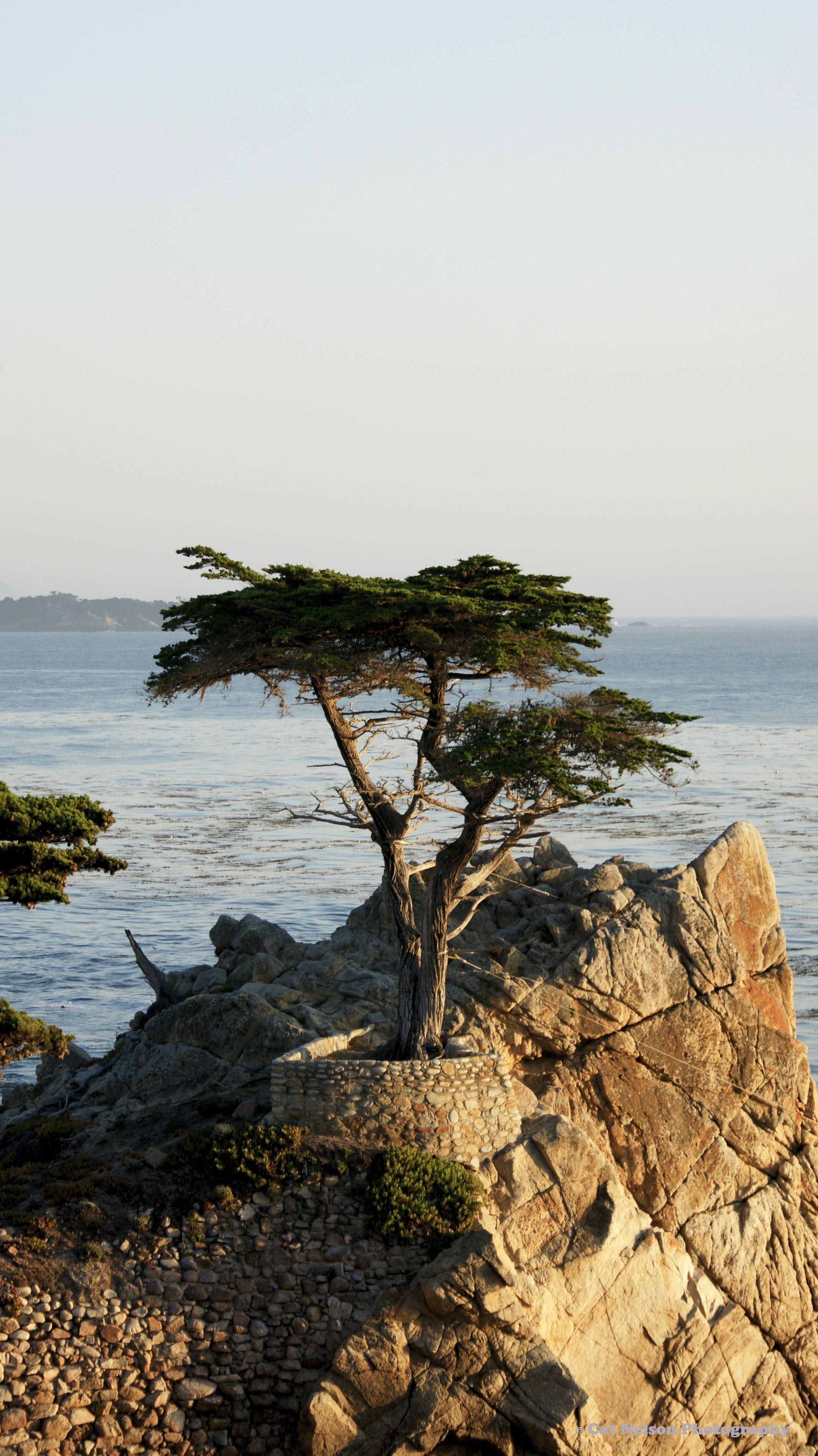 Pebble Beach Cypress